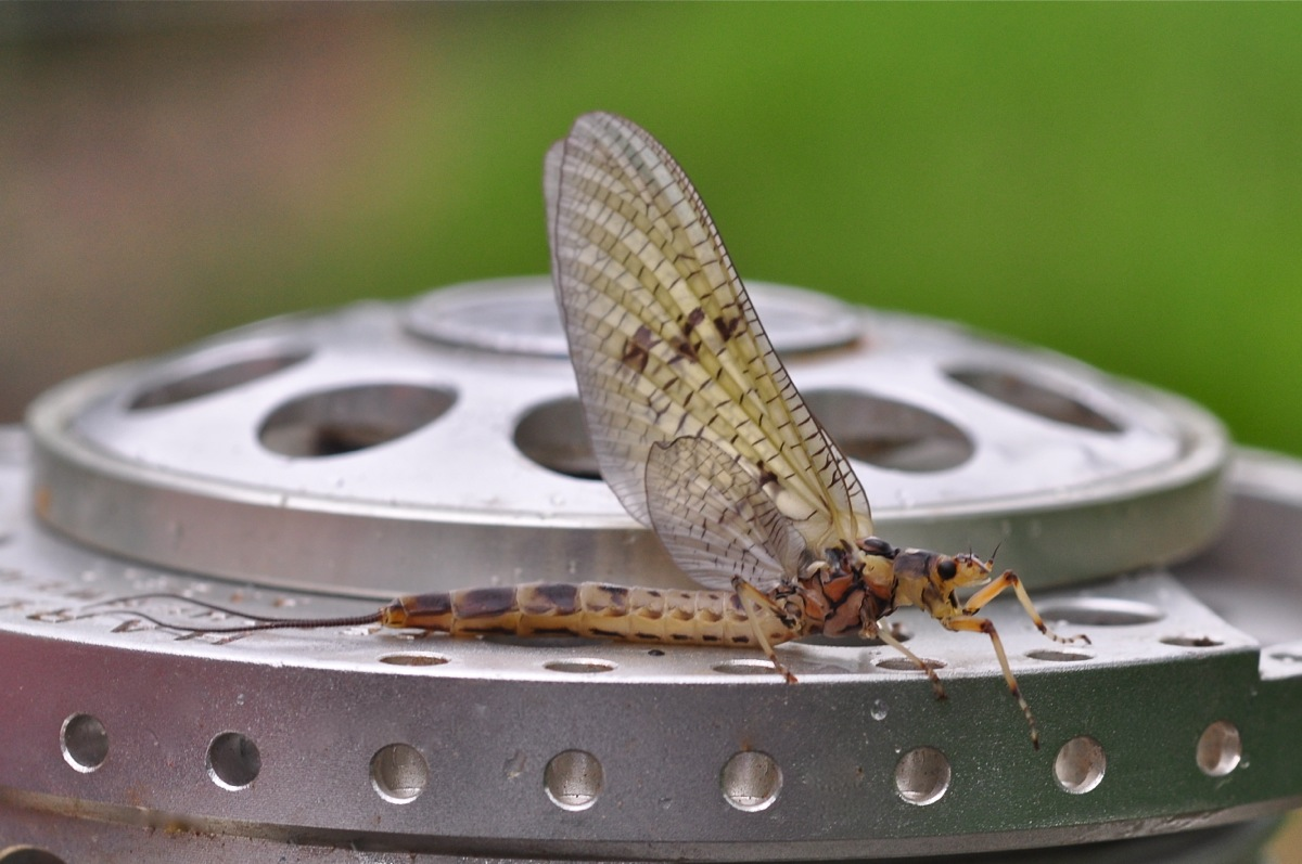 A Bellbrook Mayfly by Dom Garnet